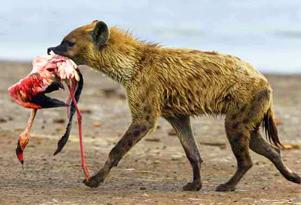 英摄影师抓拍鬣狗捕食火烈鸟惨烈场景