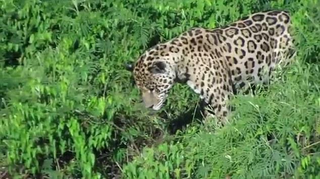 美洲豹闪电般速度捕食凯门鳄令人咋舌
