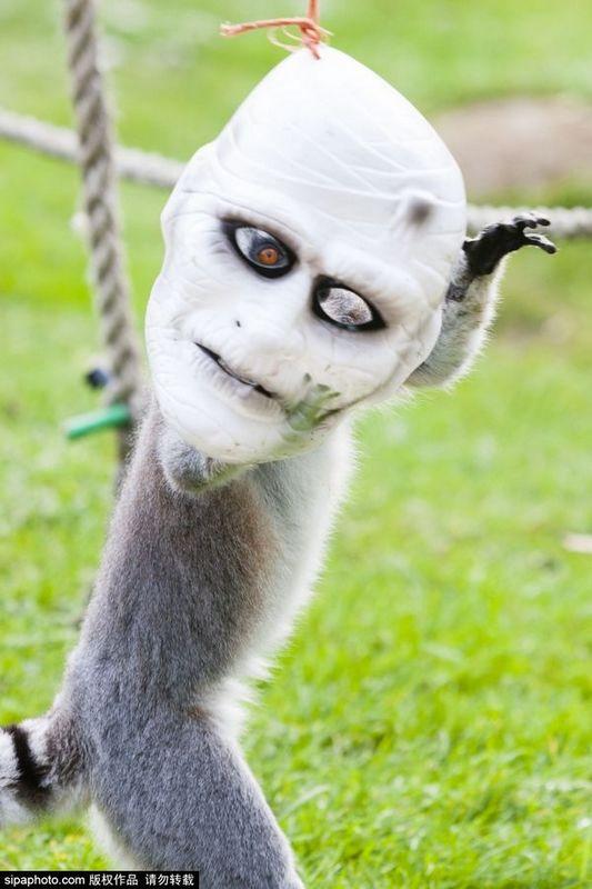 搞怪狐猴戴恐怖僵尸面具似过万圣节