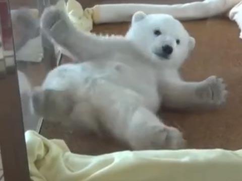 实拍超萌北极熊宝宝挣扎翻身 四脚朝天惹人爱