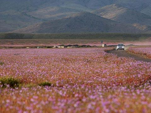 世界最干燥沙漠雨后花开遍地 成紫色花海