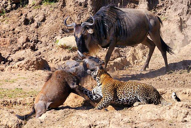 摄影师肯尼亚拍猎豹猎杀角马精彩画面