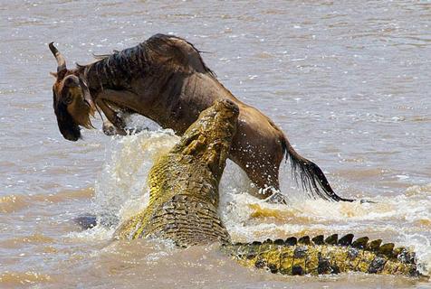 肯尼亚角马从鳄鱼口中惊险逃生