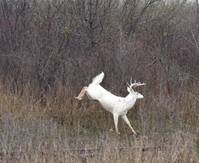 【环球网综合报道】据英国《每日邮报》11月15日报道,在美国纽约塞内卡军事基地里,生活着约200只珍稀白鹿。但随着这一基地即将被转卖,这些白鹿的生存面临着严重的威胁。   塞内卡基地建于1941年,为美国提供军火长达60年之久。自从2000年该基地关闭之后,军方还是对这片土地进行维护。但是军方打算在2016年年末清理工作结束时将这片土地以及白鹿转手给新主人照料。   军事基地要被转卖的消息一出,当地居民就开始想方设法保护这些白鹿。莉塞特?威尔逊(Lisette Wilson)是当地的农场主,