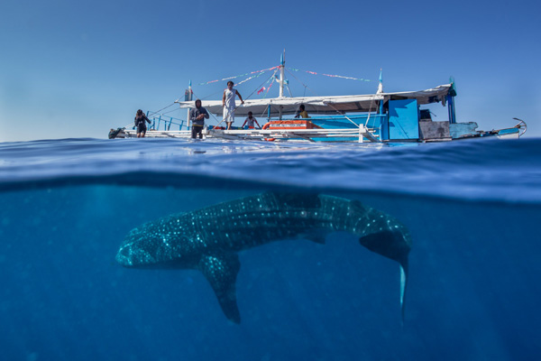 菲律宾巨型鲸鲨游船下嬉戏玩耍