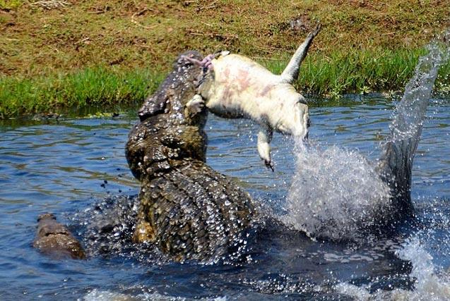 摄影师拍鳄鱼大战 小鳄鱼被残忍撕碎