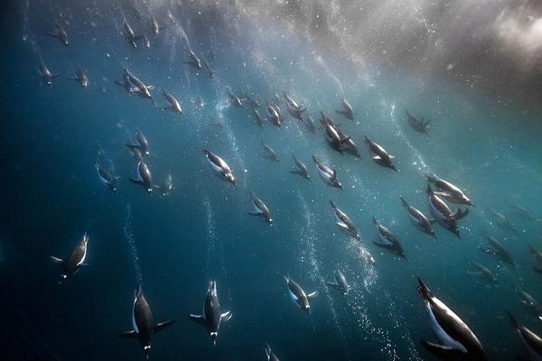 摄影师南极深海拍摄企鹅震撼下潜觅食