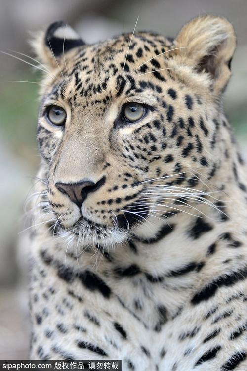 捷克动物园波斯豹 姿态慵懒霸气十足