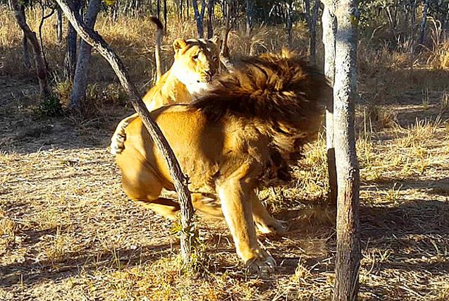"""丛林之王遭调皮母狮""""偷袭"""" 威风尽失"""