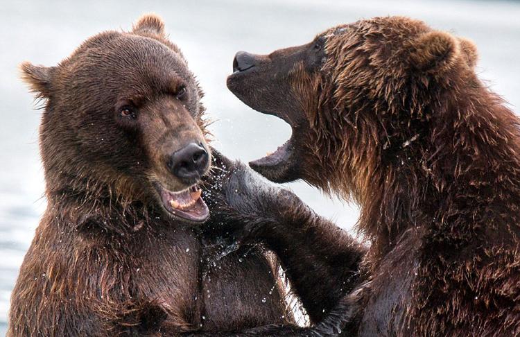 照片中打斗的两只公熊可能是在争夺地盘.