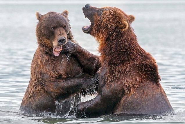 俄两棕熊湖中打斗展示完美拳击术