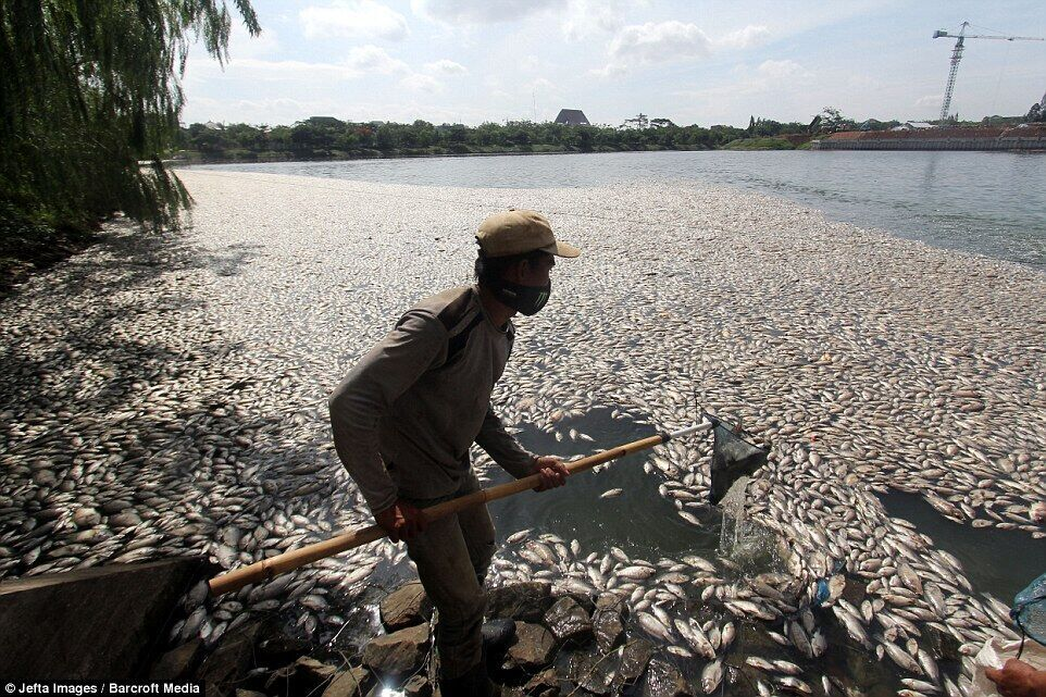 印尼雅加达暴雨致湖内出现大量死鱼 臭气熏天