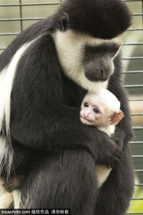 动物园,一只可爱的白色安哥拉疣猴宝宝躲妈妈怀中满脸幸福,无辜眼神更
