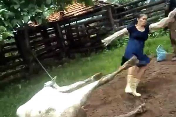实拍葡萄牙一女子试图助产被奶牛踢脸