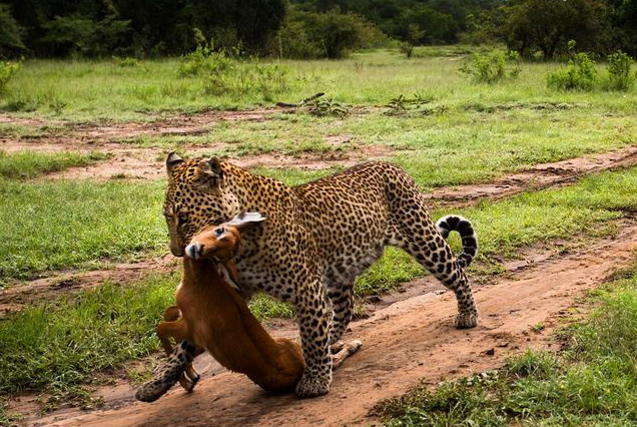 肯尼亚马赛玛拉国家公园野生动物景观