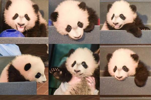 华盛顿国家动物园大熊猫体检