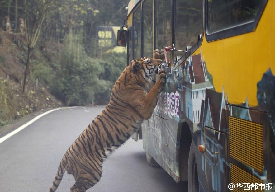 狮子老虎爬上观光车抢食 游客尖叫连连被吓哭