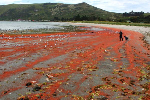 """新西兰小龙虾群被冲上海岸""""染红""""海水"""