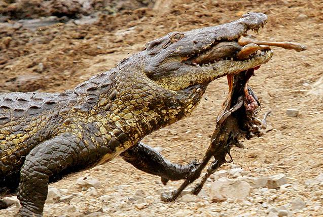南非幼年黑斑羚自投罗网成鳄鱼腹中物
