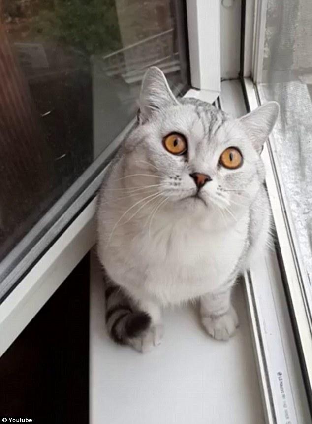 """猫长时间凝视墙壁不理主人 网友戏称其""""更新固件"""""""