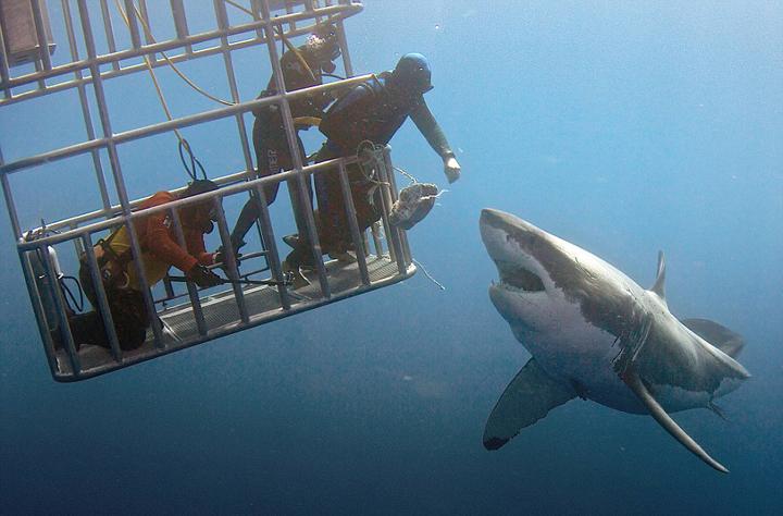 潜水员抚摸大白鲨鼻子 上演惊魂时刻