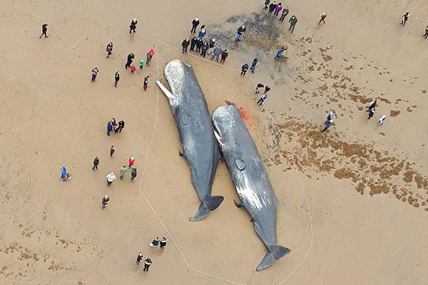 英海岸接连发现四头搁浅抹香鲸尸体