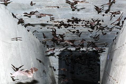 日研究者揭冬季大量蝙蝠消失之谜