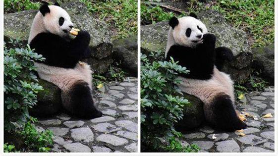 """台北动物园年前大扫除 """"圆仔""""频吃窝窝头(图)"""