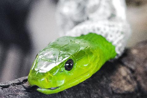 摄影师拍摄非洲毒蛇蜕皮过程 令人毛骨悚然