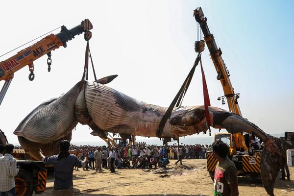 印度海滩现10米长鲸鱼尸体