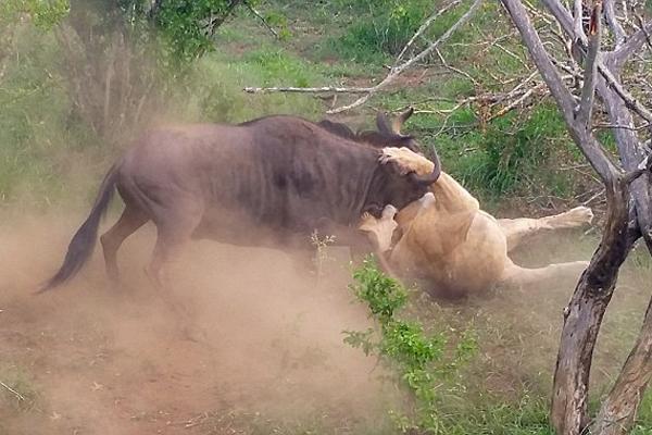 南非一角马狮口逃生 顽强不屈惊煞游人