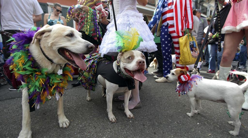 美国新奥尔良狂欢节上演狗狗化妆大游行