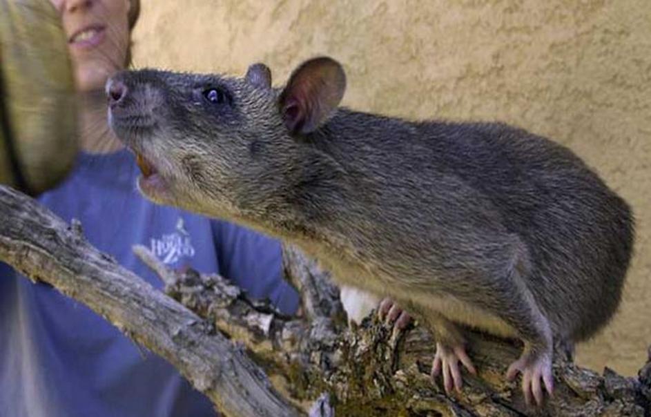美国纽约惊现罕见变异老鼠 身体全长60厘米