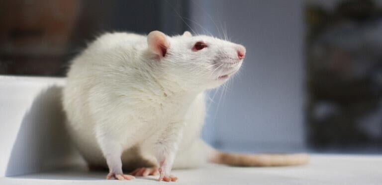 """美科研团队研发""""迷你大脑"""" 或可取代医用小白鼠"""