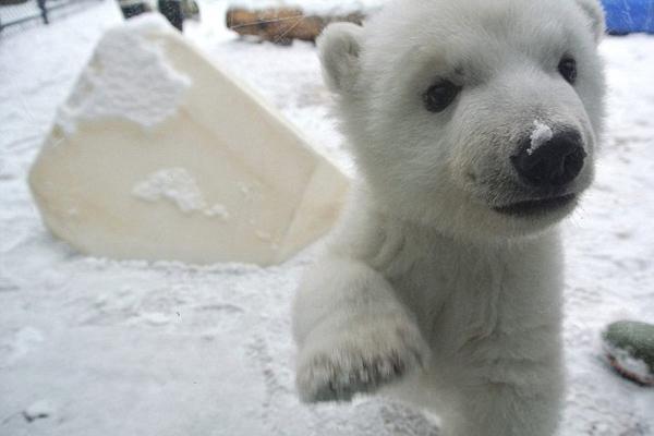 萌化!实拍北极熊宝宝初见白雪瞬间