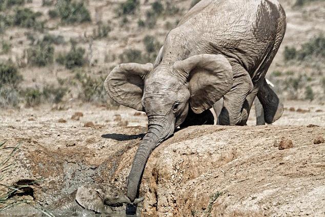 南非一小象陷入水坑 母象伸象鼻营救