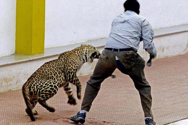 印度一金钱豹闯入校园咬伤5人