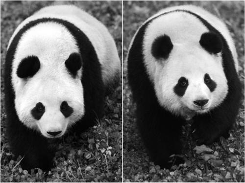 """陈尚文】""""来自中国领导人的礼物""""""""新熊猫夫妇要来了""""""""小可爱,拜托你们"""