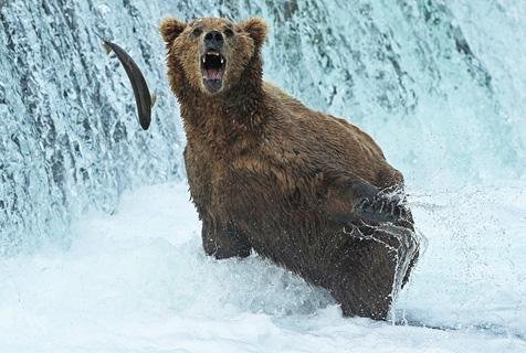 阿拉斯加灰熊尽享水疗和三文鱼大餐