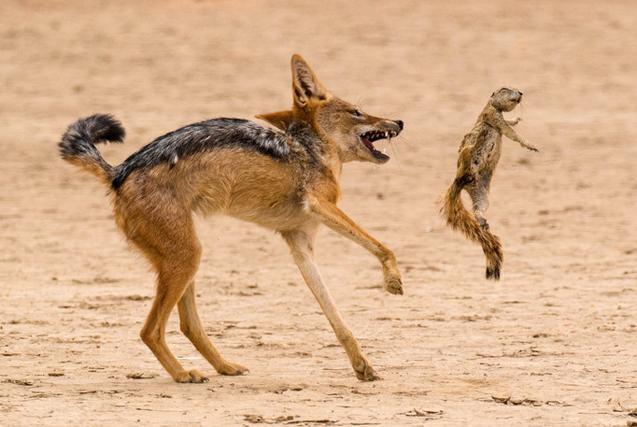 南非豺狼玩弄松鼠尸体 高空接物当玩具