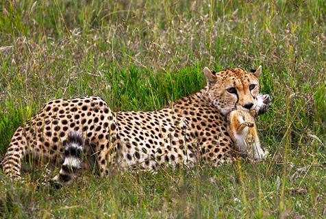 坦桑尼亚草原上演猎豹捕杀野兔惊心场面