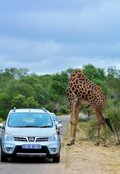 """南非动物园惊现""""无头""""长颈鹿"""