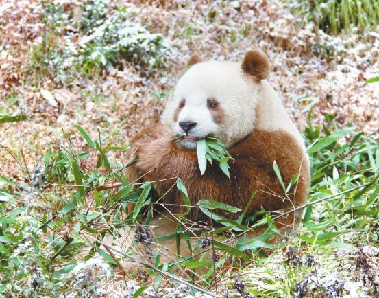 """全球现存唯一棕色大熊猫""""七仔""""在陕西越冬"""