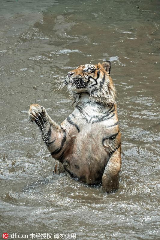 2016年3月1日报道,印尼雅加达拉古南动物园内,一头苏门答腊虎从水中觅