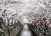 日本旅游樱花季·东京赏樱花名所