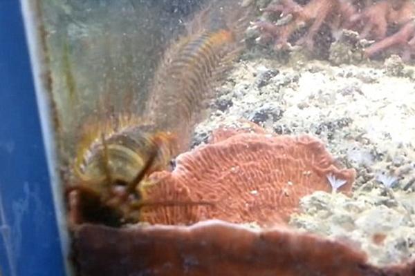 美男子自家鱼缸中藏近1米博比特虫 两年未察觉