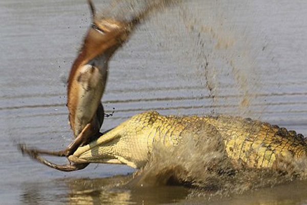 南非鳄鱼捕到黑斑羚 撕扯扭转场面残忍