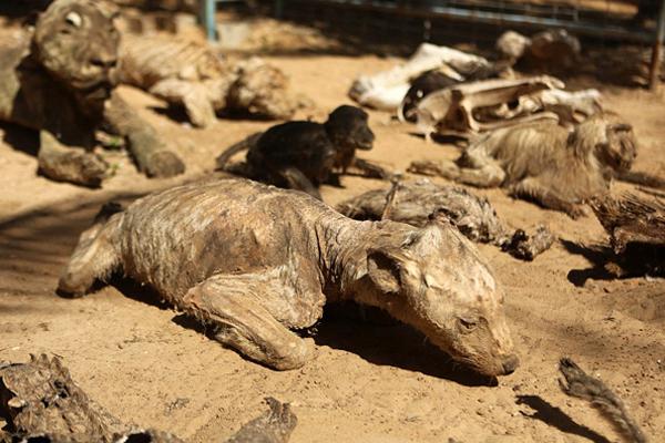世界最悲惨动物园 饿死动物晾成干尸