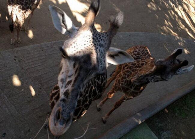 """谷歌与洛杉矶动物园合作 让动物也能""""疯狂自拍"""""""