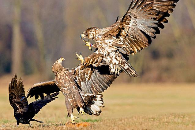 两白尾鹰猛烈夺食 乌鸦坐收渔翁之利